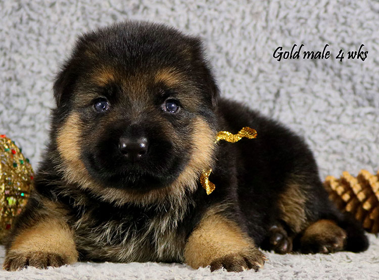 Bindi x Solo - 4 Weeks Gold Collar Male