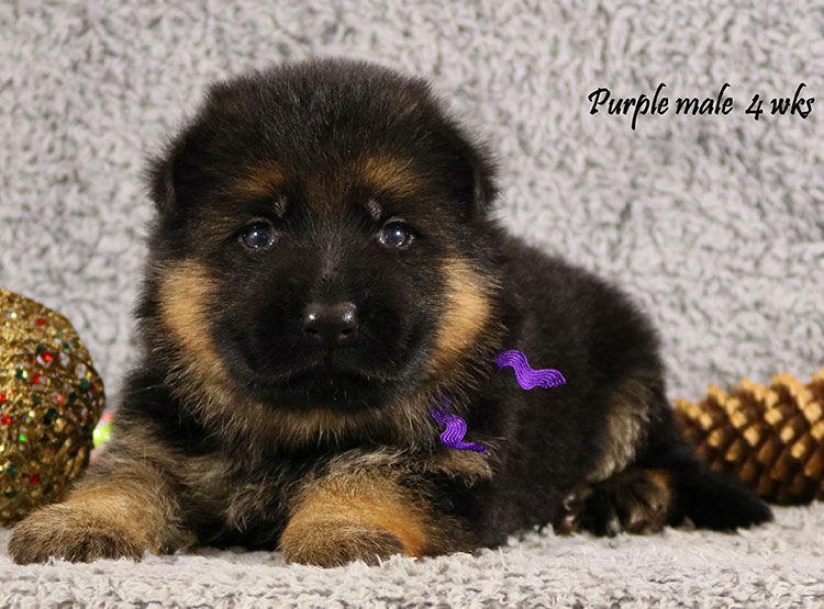 Bindi x Solo - 4 Weeks Purple Collar Male