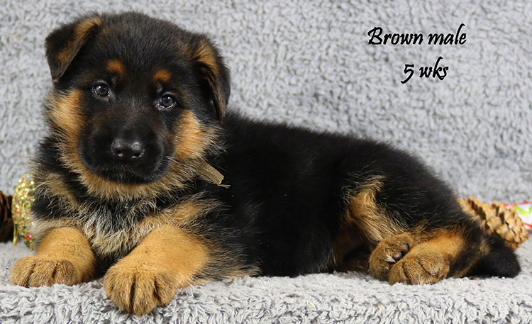 Envy x Solo - 5 Weeks Brown Collar Male