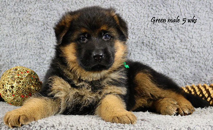 Envy x Solo - 5 Weeks Green Collar Male