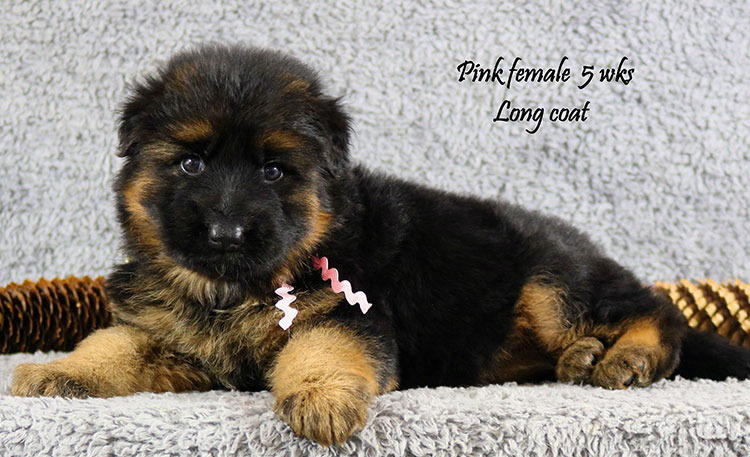 Envy x Solo - 5 Weeks Pink Collar Female