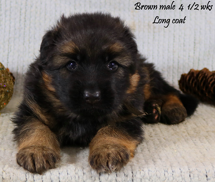 Solo x Alba - 4 and Half Week Brown Collar Male