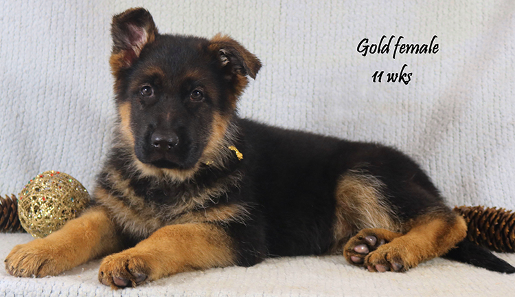 Solo x Coby - 11 Weeks Gold Collar Female