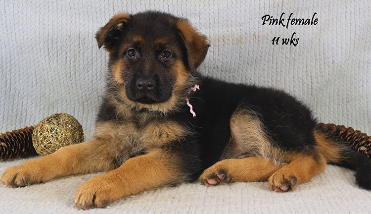 Solo x Coby - 11 Weeks Pink Collar Female