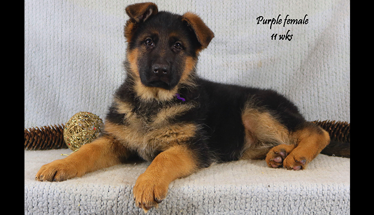 Solo x Coby - 11 Weeks Purple Collar Female