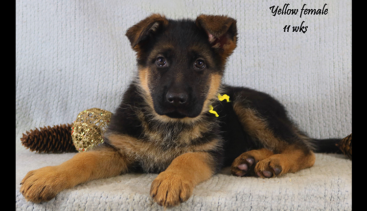 Solo x Coby - 11 Weeks Yellow Collar Female