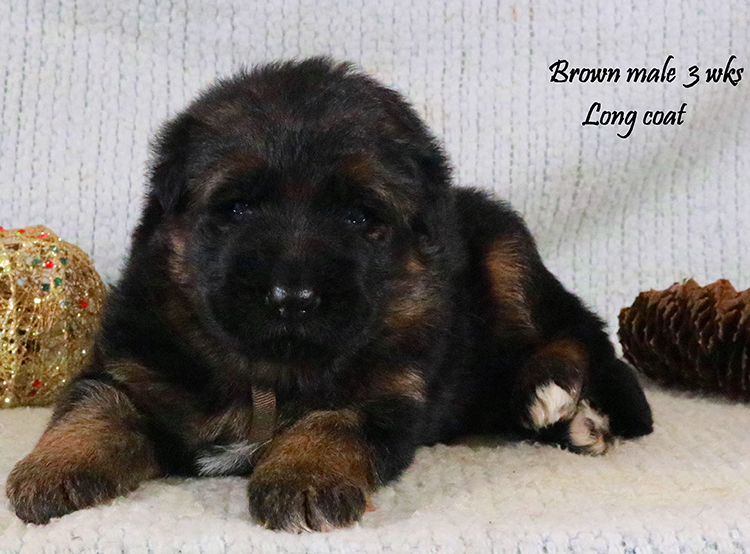 Solo x Lizzy - 3 Weeks Brown Collar Male