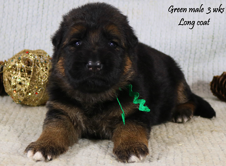 Solo x Lizzy - 3 Weeks Green Collar Male