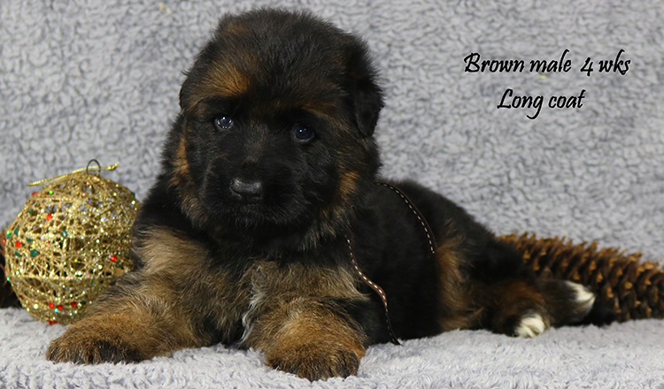 Solo x Lizzy - 4 Weeks Brown Collar Male