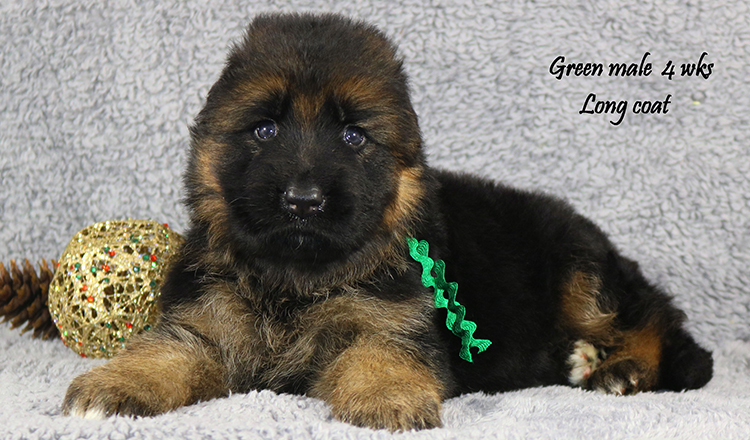 Solo x Lizzy - 4 Weeks Green Collar Male