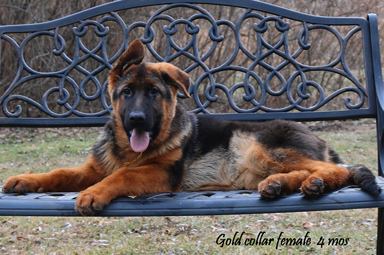 Solo x Philly - 4 Months Gold Collar Female