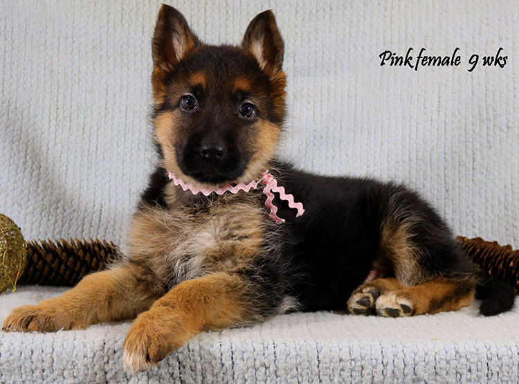 Thiago x Ivanka - 9 Weeks Pink Collar Female