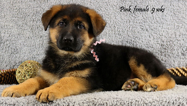 Xtra x Ikon - 9 Weeks Pink Collar Female