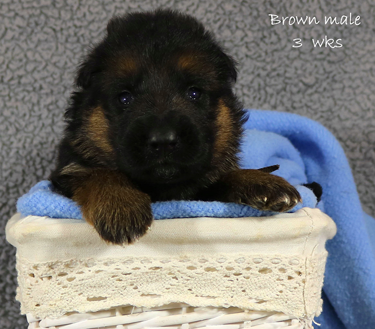 Figo x Zany - 3 Weeks Brown Collar Male