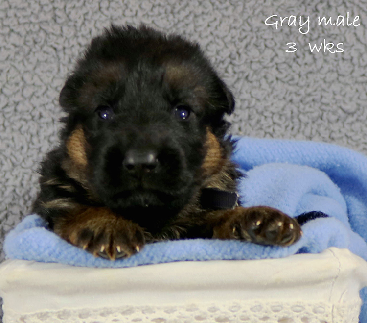 Figo x Zany - 3 Weeks Gray Collar Male