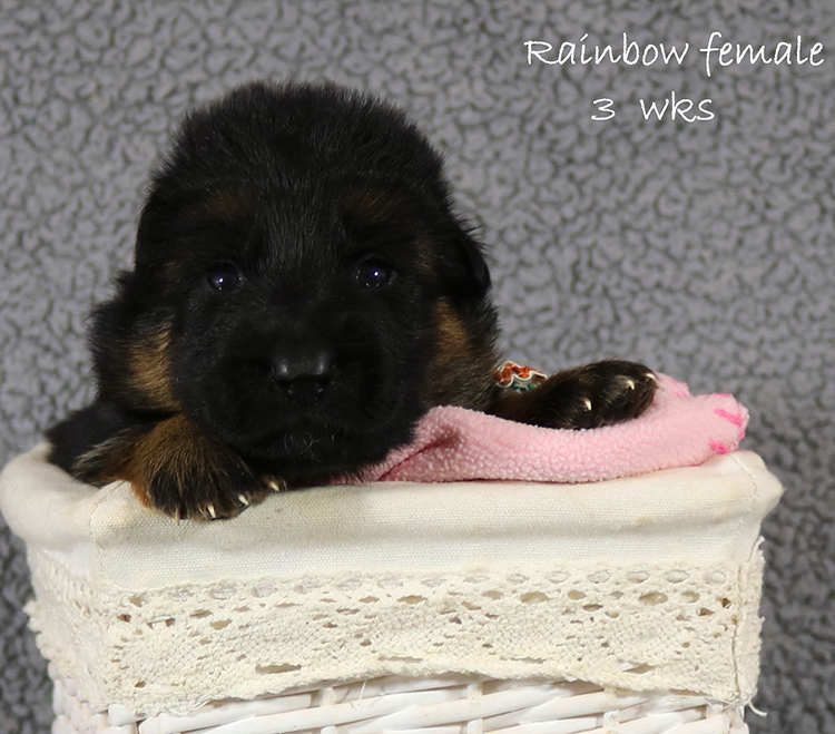 Figo x Zany - 3 Weeks Rainbow Collar Female