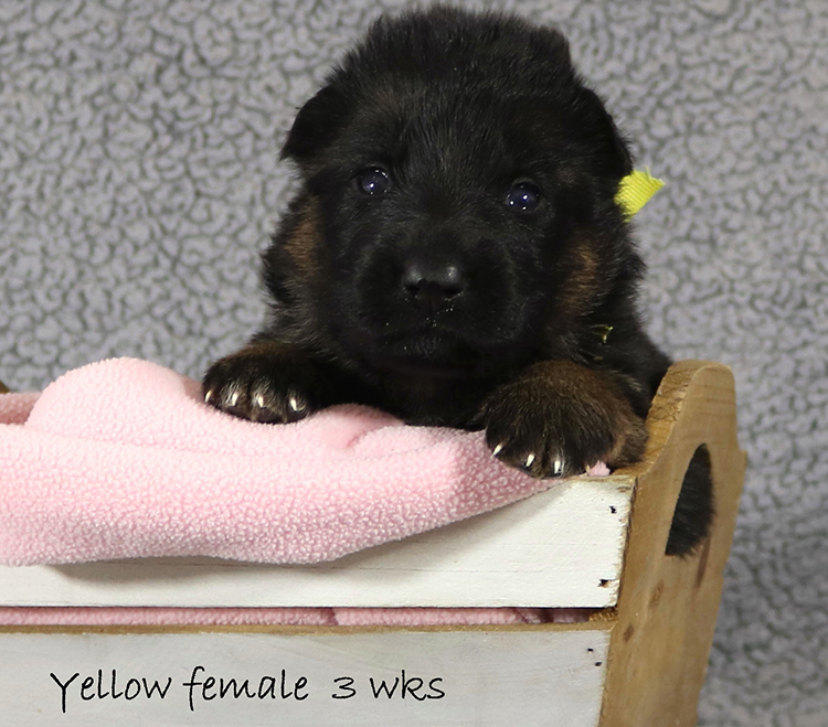 Figo x Zany - 3 Weeks Yellow Collar Female