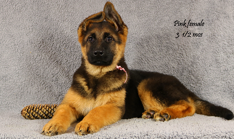 Ikon x Xtra - 3 and Half Month Pink Collar Female