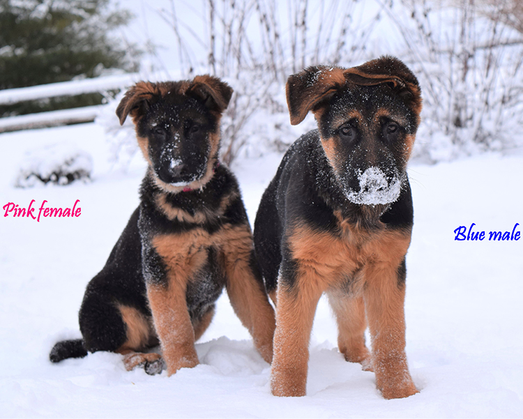 Solo x Anadja - 3 and Half Month Blue and Pink Collar Male and Female