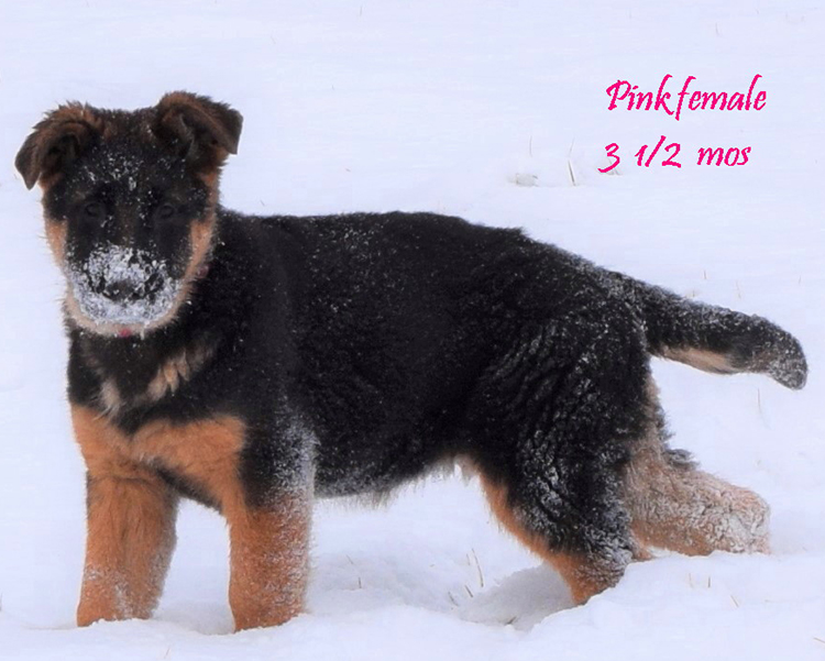 Solo x Anadja - 3 and Half Month Pink Collar Female 2