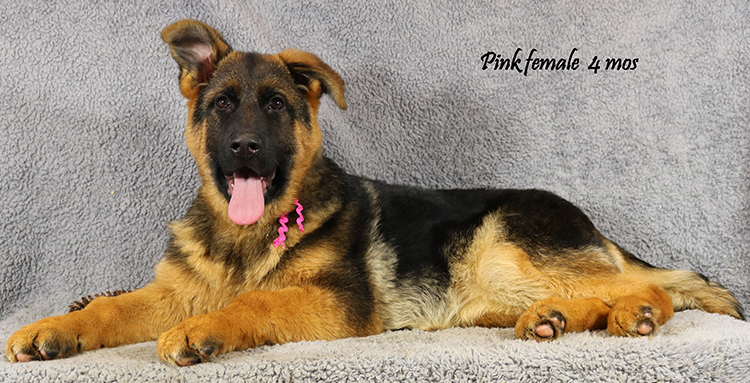 Solo x Coby - 4 Months Pink Collar Famale
