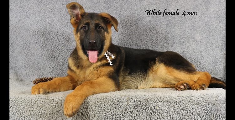 Solo x Coby - 4 Months White Collar Famale