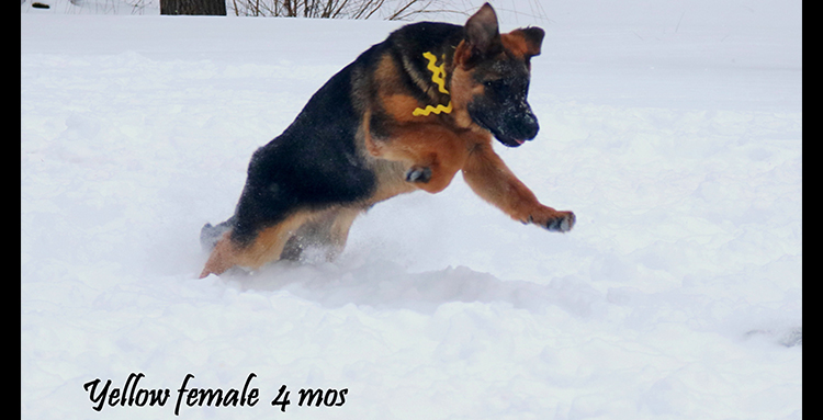 Solo x Coby - 4 Months Yellow Collar Famale 2
