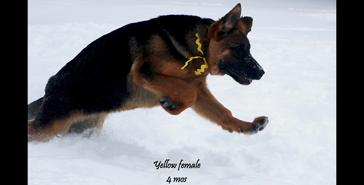 Solo x Coby - 4 Months Yellow Collar Famale