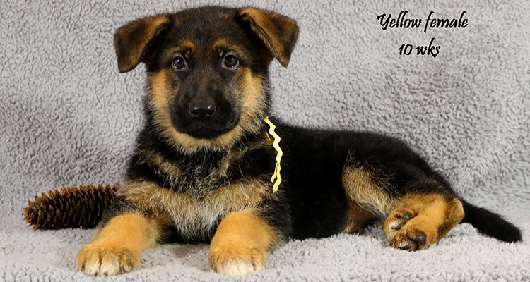 Solo x Envy - 10 Weeks Yellow Collar Female
