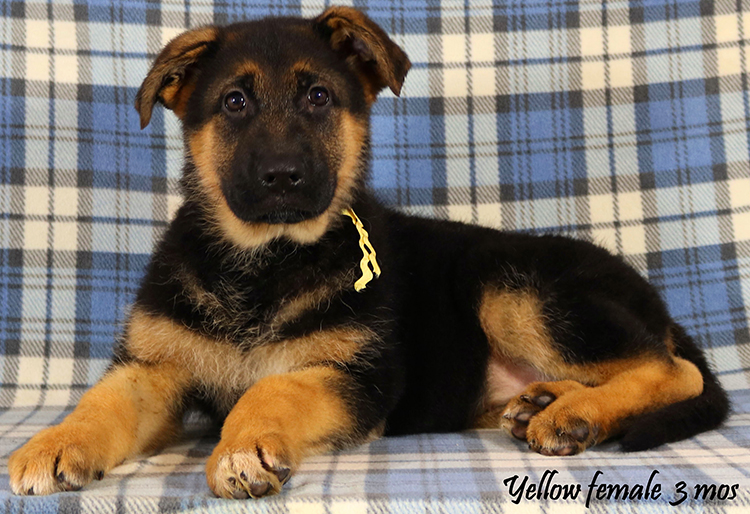 Solo x Envy - 3 Months Yellow Collar Female