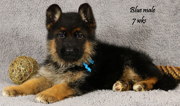 Solo x Lizzy - 7 Weeks Blue Collar Male