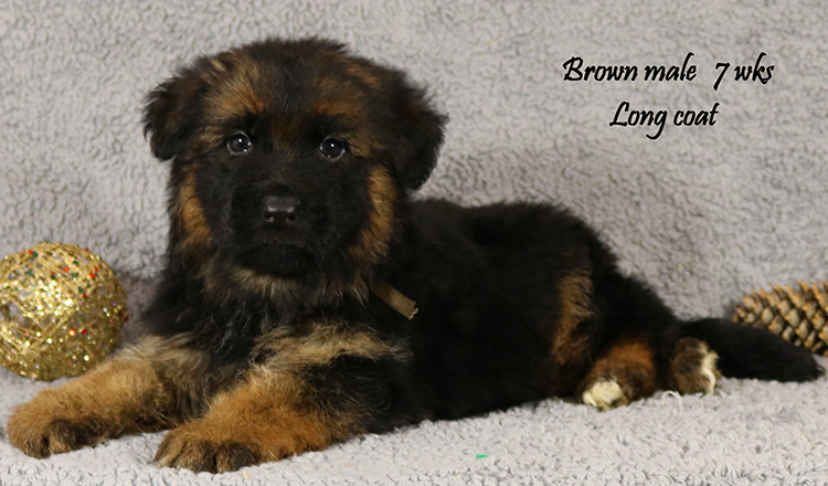 Solo x Lizzy - 7 Weeks Brown Collar Male 2