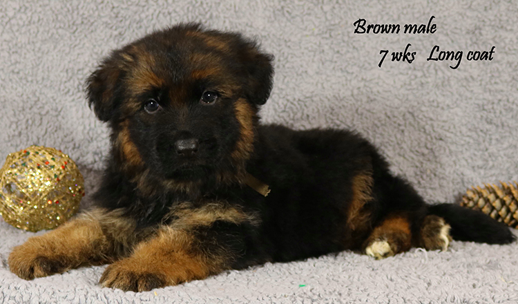 Solo x Lizzy - 7 Weeks Brown Collar Male