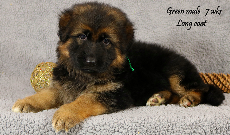 Solo x Lizzy - 7 Weeks Green Collar Male