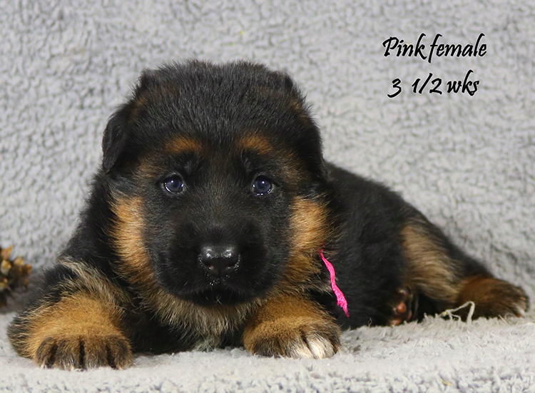 Solo x Vespa - 3 and Half Month Pink Collar Female