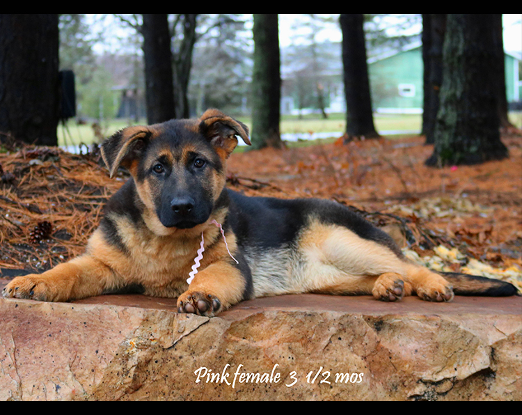 Solo x Zuma - 3 and Half Month Pink Collar Female 2