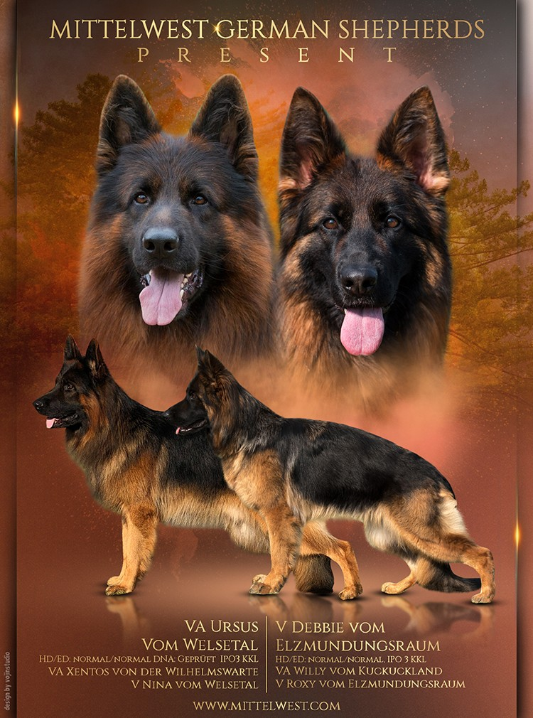 Mittelwest German Shepherds Present - Debbie x Ursus