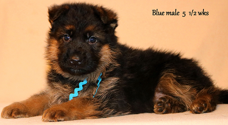 Figo x Zany - 5 and Half Weeks Blue Collar Male