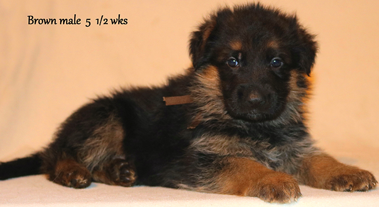 Figo x Zany - 5 and Half Weeks Brown Collar Male