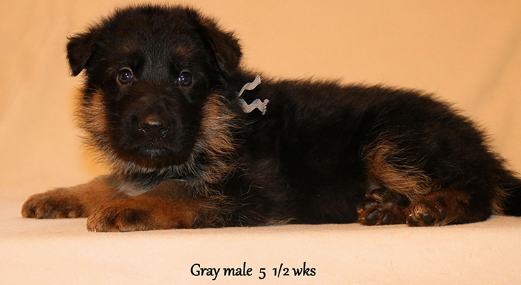 Figo x Zany - 5 and Half Weeks Gray Collar Male