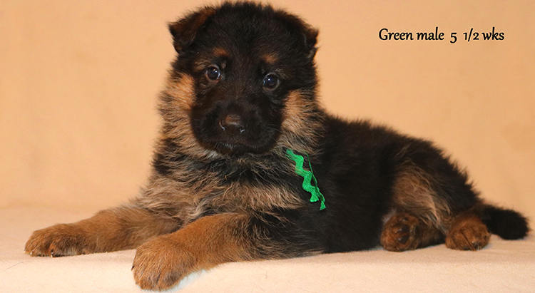 Figo x Zany - 5 and Half Weeks Green Collar Male