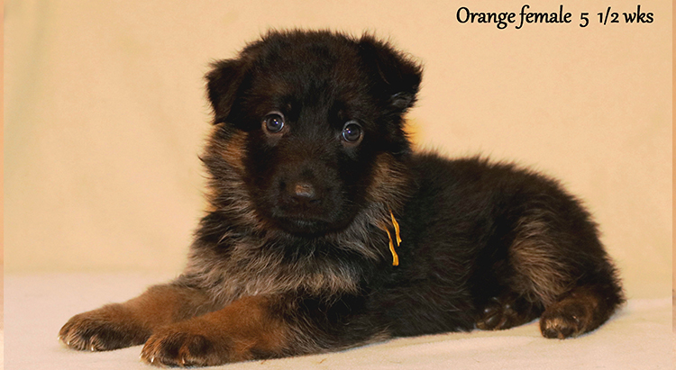 Figo x Zany - 5 and Half Weeks Orange Collar Female