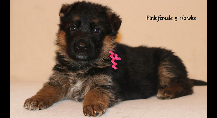 Figo x Zany - 5 and Half Weeks Pink Collar Female