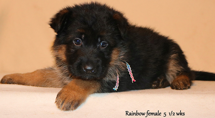 Figo x Zany - 5 and Half Weeks Rainbow Collar Female