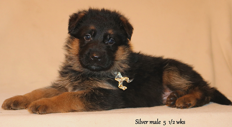 Figo x Zany - 5 and Half Weeks Silver Collar Male