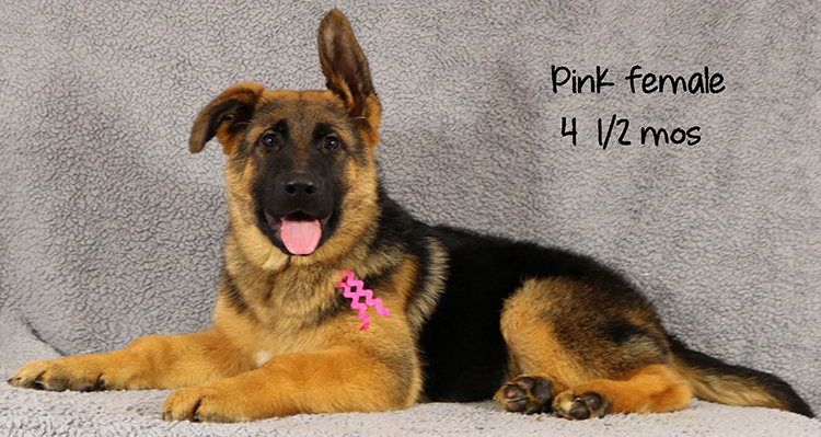 Ikon x Xtra - 4 and Half Month Pink Collar Female