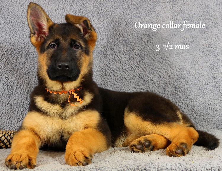 Obi x Cira - 3 and Half Month Orange Collar Female