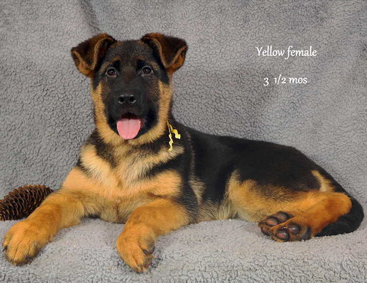 Obi x Cira - 3 and Half Month Yellow Collar Female