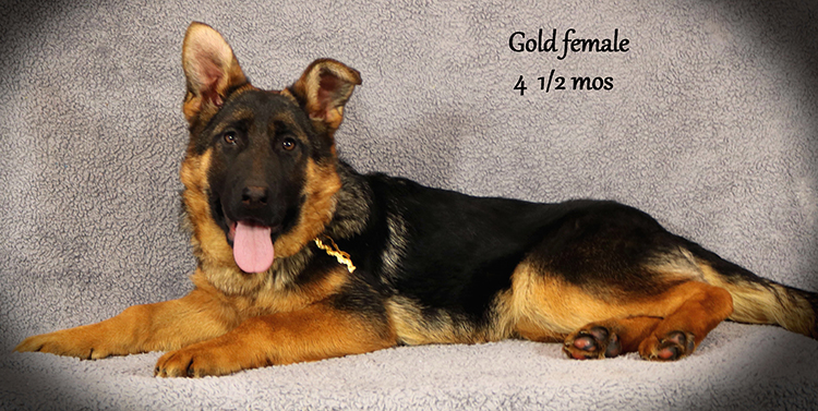 Solo x Anadja - 4 and Half Month Gold Collar Female