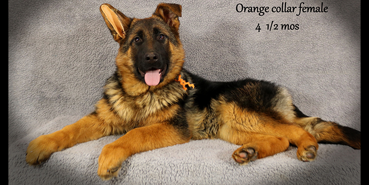 Solo x Anadja - 4 and Half Month Orange Collar Female